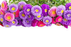 Aster flowers Stock Photos