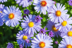 Aster flowers with rain drops Stock Photos