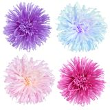 Aster flowers set Royalty Free Stock Photo