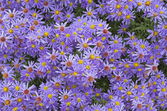 Aster flowers Royalty Free Stock Photo