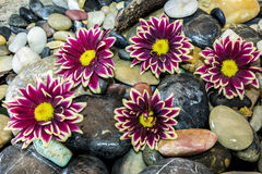Aster flowers on stones Royalty Free Stock Images