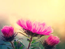 Aster flowers at sunlight Stock Images
