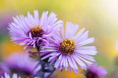 Aster flowers. Aster violet flowers on meadow Royalty Free Stock Images
