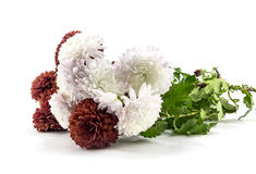 Aster flowers on a white background Royalty Free Stock Images