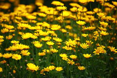 Aster flowers. Yellow aster flowers in a garden royalty free stock photo