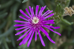 Aster  in the garden Royalty Free Stock Image