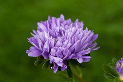 Aster on green backgrond Royalty Free Stock Photo