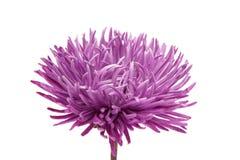Aster hermoso de la flor aislado Imágenes de archivo libres de regalías