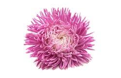 Aster hermoso de la flor aislado Imagen de archivo
