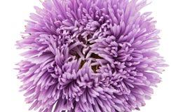 Aster hermoso de la flor aislado Foto de archivo libre de regalías