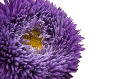 Aster hermoso de la flor aislado Fotos de archivo libres de regalías