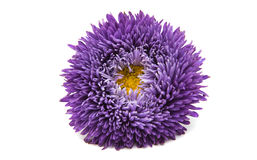 Aster hermoso de la flor aislado Foto de archivo