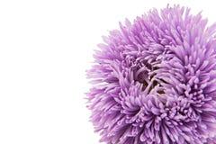 Aster hermoso de la flor aislado Imagenes de archivo