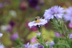 Aster hermoso del azul de la flor Imagen de archivo