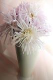 Aster i en vit vas för kvinnor Arkivfoto