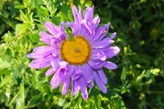 Aster i trädgård royaltyfria bilder
