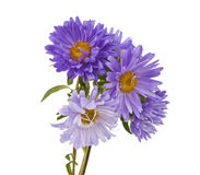 Aster Isolated Stock Images