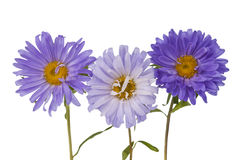 Aster Isolated Royalty Free Stock Image