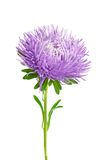 Aster isolated Royalty Free Stock Photos