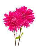 Aster isolated Stock Image