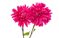 Aster isolated Royalty Free Stock Photo