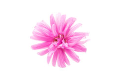 Aster isolated Stock Photos