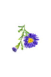 Aster isolated on white Stock Photos