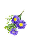 Aster isolated on white Stock Image