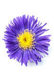 Aster isolated on white Stock Images