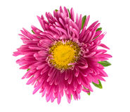 Aster isolated on white Stock Photo
