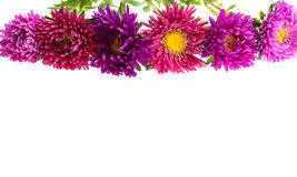 Aster isolated on white Stock Photography