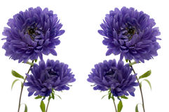 Aster isolated on white Royalty Free Stock Photos