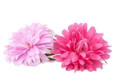 aster isolerad pink Fotografering för Bildbyråer