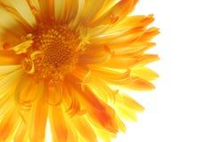 Aster jaune Photographie stock libre de droits