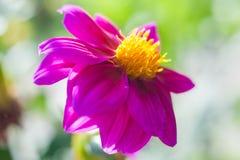 Aster jesieni kwiatu t?o Jesie? kwiaty, Fio?kowy czerwony kwiat zdjęcie stock