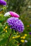 Aster lilla nel giardino di estate Fotografie Stock