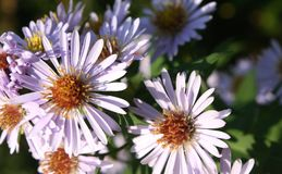 Aster lisse photo stock