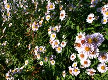 Aster lisse image stock