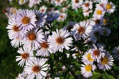 Aster lisse photographie stock