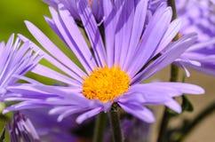 Aster med delikata violetta kronblad Royaltyfria Foton