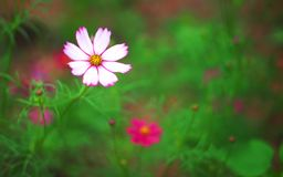 Aster messicano dei fiori bianchi o petalo dell'universo con i modelli rosa del bordo ed il polline giallo che fioriscono nel gia fotografia stock libera da diritti