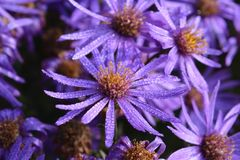 Aster or Michaelmas daisies covered in dewdrops stock photography