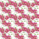 Aster , Michaelmas daisy. Seamless pattern texture of pressed  Royalty Free Stock Images