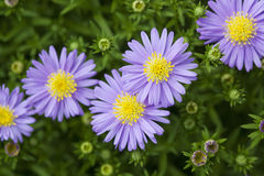 Aster microcephalus. Flowers in the garden Royalty Free Stock Photo