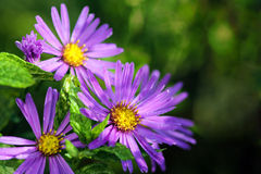 Aster in the morning with dew drops Royalty Free Stock Image