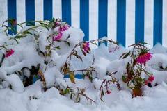 Aster nella neve Fotografie Stock Libere da Diritti
