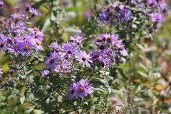 Aster, New England (Symphyotrichum novae-angliae Stock Photos