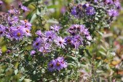 Aster, New England (Symphyotrichum novae-angliae Stock Photos