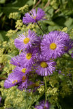Aster (Novi-Belgi Chequers). The genus Aster (syn. Diplopappus Cass.)includes some 600 species of widely distributed flowering plants in the family Asteraceae Stock Photo
