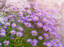 Aster novi-belgii in garden flowerbed in autumn Royalty Free Stock Photo